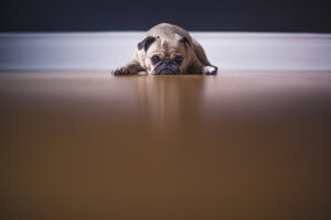 Pug photo by Matthew Weibe - unsplash.com