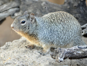 Rock Squirrel courtesy Laura Stafford, Arizona Sonora Desert Museum library Library