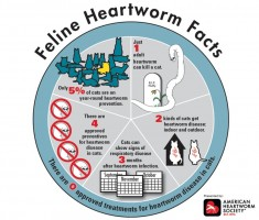 Cats can be infected with heartworms, so keep them safe with testing and preventative. Image Courtesy American Heartworm Society.