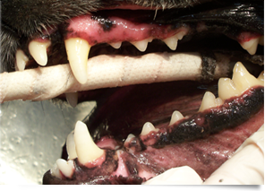 Pet Teeth Cleaning